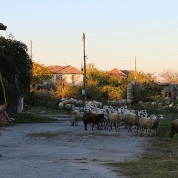 Local shepherd and her flock.