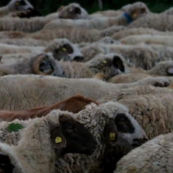 Sheep sea.