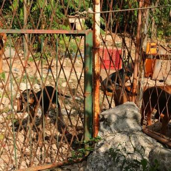 Scary hounds near Perast - just a few of the many caged in small compounds in the area.