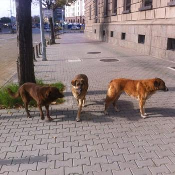 Some of the many enormous hounds prowling the streets of Sofia. But I shouldn't worry, one local tells me. He only knows two people who have been killed by them in recent years.