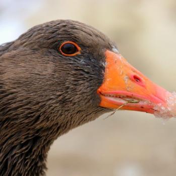 Frost-billed goose.