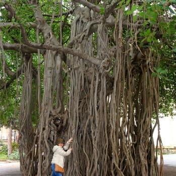Incredible Banyan tree on the AUB campus.