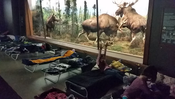 Alaskan Moose room in museum of natural history