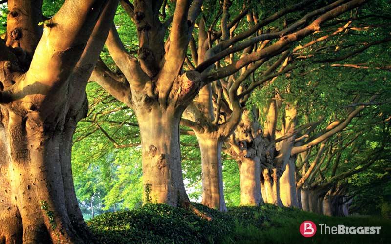 Rádiokarbónová datovania žijúci strom