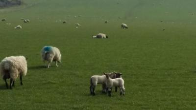Sheep and Lambs on the South Downs Way.jpg
