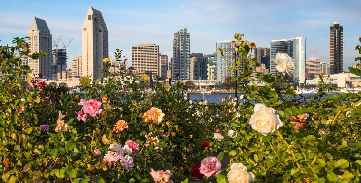 Flowering rose bushes with Sand Diego skyline in the background