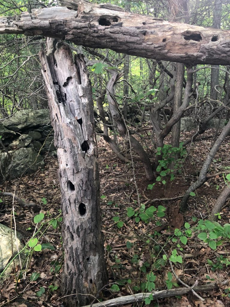Fallen elm tree riddled with woodpecker holes