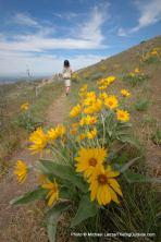 Arrowleaf balsamroot, Upper Hulls Gulch Trail, Boise Foothills.