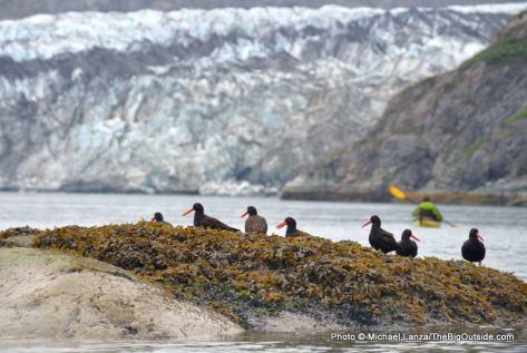 Oystercatchers, Lamplugh Glacier