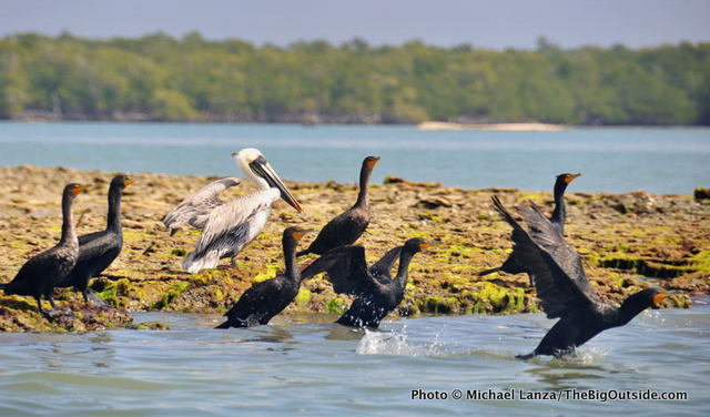 A brown pelican and cormorants in the Ten Thousand Islands, Everglades National Park.