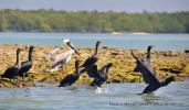 Brown pelican, cormorants, Ten Thousand Islands.
