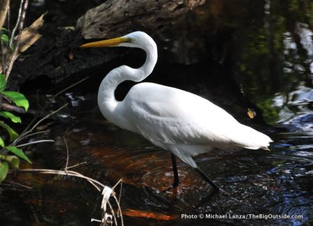 Great egret, Everglades.