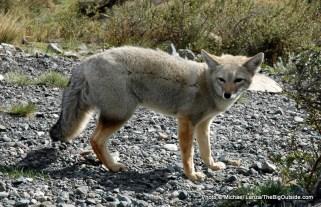 Fuegian fox.