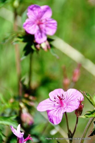 Geraniums, Upper Hulls Gulch, Boise Foothills, ID.