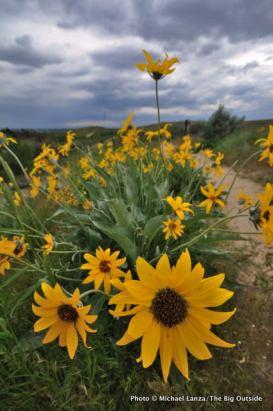 Arrowleaf balsamroot, Chickadee Ridge Trail, Boise Foothills, ID.