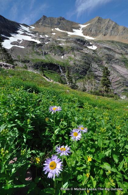 Alpine aster, Gunsight Pass Trail, Glacier National Park, MT.