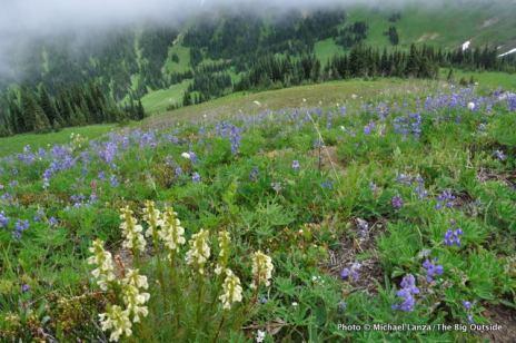 Lupine, Mt. Rainier National Park, WA.
