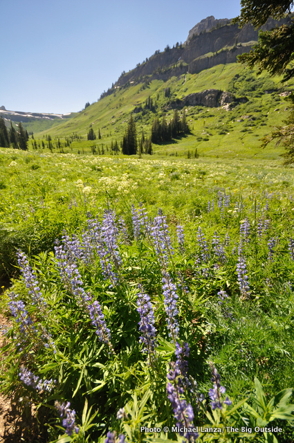 Lupine, Death Canyon, Grand Teton National Park, WY.