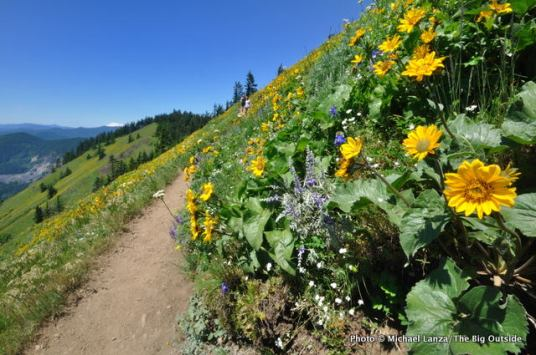Arrowleaf balsamroot and lupine, Dog Mountain.