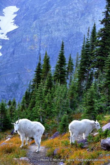 Mountain goats, Gunsight Pass Trail.