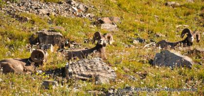 Bighorn sheep, Highline Trail, Glacier National Park.