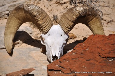 Bighorn sheep skull, second day, Beehive Traverse.