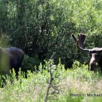 Moose in Cascade Canyon.
