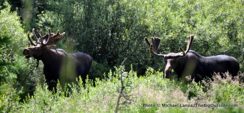 Moose in Cascade Canyon.