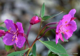 Broad-leaved willowherb, Ptarmigan Beach, Glacier Bay.