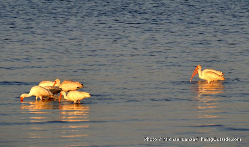 White ibises at Tiger Key, Ten Thousand Islands, Everglades National Park.