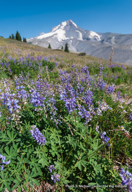 Lupine along the Timberline Trail.