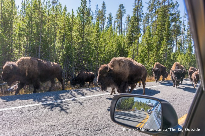 """Bison jam"" in Yellowstone National Park."