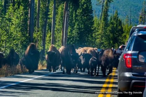 """A """"bison jam."""""""