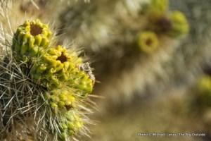 Cholla Cactus Garden, Joshua Tree National Park.
