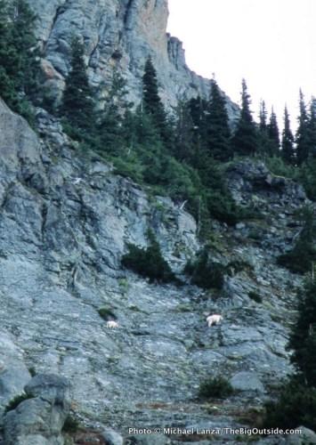 Mountain goats on the Yellowstone Cliffs at Mount Rainier.
