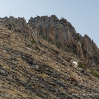 Mountain goats on Patterson Peak.