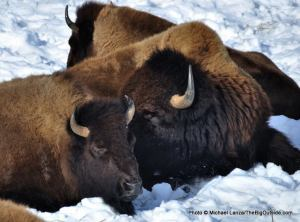 Bison in the Lamar Valley, Yellowstone National Park.