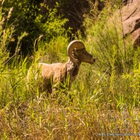Bighorn sheep in Lodore Canyon.