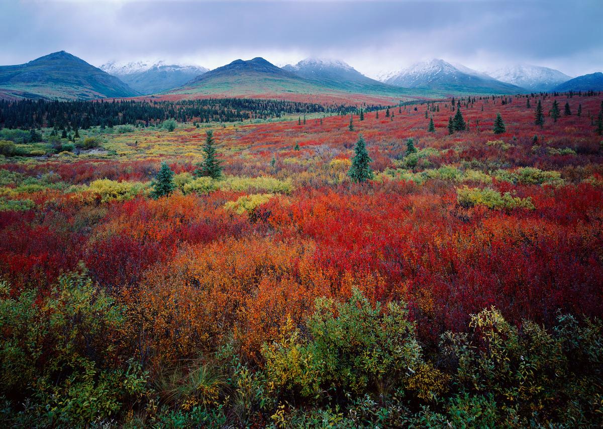 Tundra in autumn, Denali National Park, Alaska.