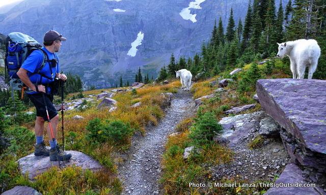 Mountain goats along the Gunsight Pass Trail, Glacier National Park.