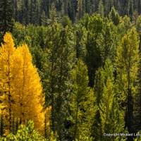 Larch trees, South Fork Bridge Creek.