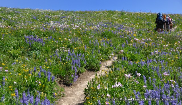 Backpackers hiking through lupine and other wildflowers, Death Canyon Shelf, Grand Teton National Park.