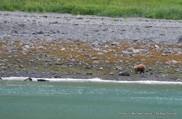 A brown bear in Glacier Bay National Park, Alaska.