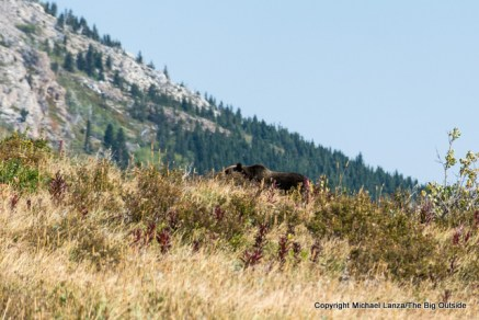 A grizzly bear above Poia Lake in Glacier National Park.