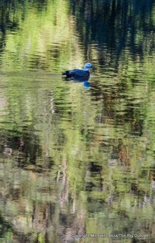 Ducks on Gair Loch, Dusky Track, Fiordland National Park, New Zealand.