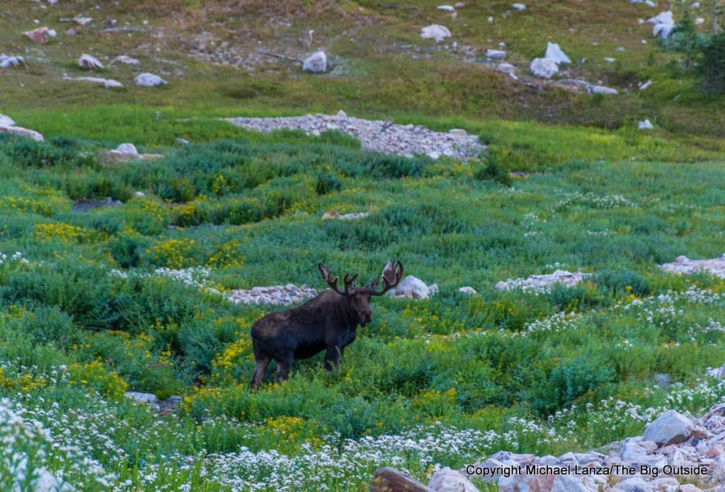 A moose along the Teton Crest Trail, North Fork Cascade Canyon, Grand Teton National Park.