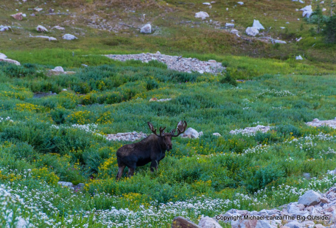 A moose along the Teton Crest Trail, North Fork Cascade Canyon, Grand Teton National Park.