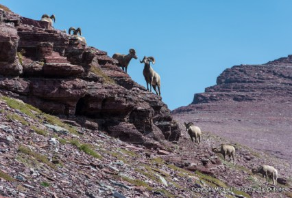Bighorn sheep near Redgap Pass in Glacier National Park.