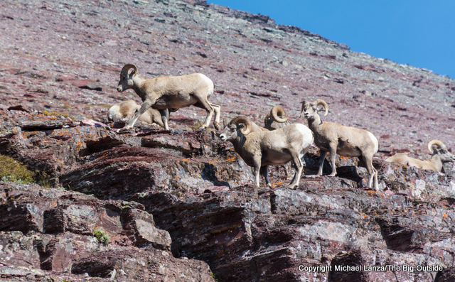 Bighorn sheep near Redgap Pass in Glacier National Park.