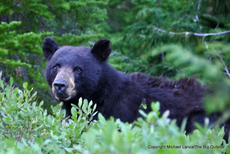 A black bear along the Sol Duc River Trail in Olympic National Park.